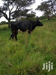 Friesian Cow For Sale | Livestock & Poultry for sale in Western Region, Mbarara