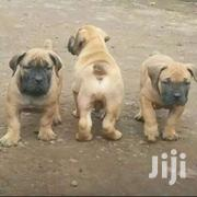 South African Bulls | Dogs & Puppies for sale in Central Region, Kampala