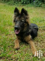 Young Male Purebred German Shepherd Dog   Dogs & Puppies for sale in Central Region, Wakiso