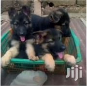 German Shepherd Puppies | Dogs & Puppies for sale in Central Region, Kampala