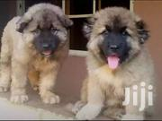 Young Male Purebred Caucasian Shepherd Dog | Dogs & Puppies for sale in Central Region, Kampala