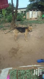 Adult Male Purebred | Dogs & Puppies for sale in Central Region, Wakiso
