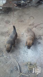Baby Male Purebred | Dogs & Puppies for sale in Central Region, Wakiso