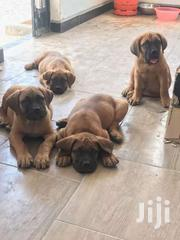 South African Boer Boel Puppies | Dogs & Puppies for sale in Central Region, Kampala