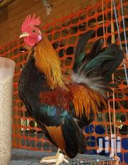 Kuroilers | Livestock & Poultry for sale in Central Region, Kampala