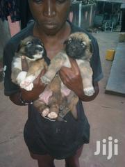 Young Female Mixed Breed | Dogs & Puppies for sale in Central Region, Kampala