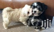 Young Female Purebred Havanese | Dogs & Puppies for sale in Central Region, Kampala