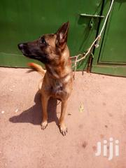 Adult Male Purebred Belgian Malinois | Dogs & Puppies for sale in Central Region, Kampala