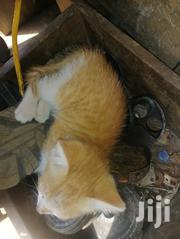 Young Male Mixed Breed Mongrel (No Breed) | Cats & Kittens for sale in Central Region, Kampala