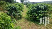 Coffee Plantation At Mityana For Sale | Land & Plots For Sale for sale in Central Region, Kampala