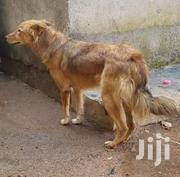 Young Male Mixed Breed Golden Retriever | Dogs & Puppies for sale in Central Region, Kampala