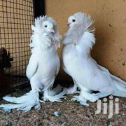 Capuchin Pigeon | Birds for sale in Central Region, Kampala
