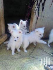 Baby Female Purebred Japanese Spitz | Dogs & Puppies for sale in Central Region, Kampala