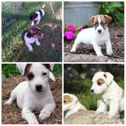 Jack Russels | Dogs & Puppies for sale in Central Region, Kampala