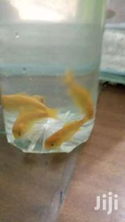 Yellow Comet Gold Fish | Pet's Accessories for sale in Central Region, Kampala