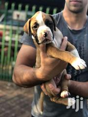 Young Male Purebred Boxer | Dogs & Puppies for sale in Central Region, Kampala