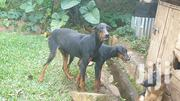 Adult Male Purebred Doberman Pinscher | Dogs & Puppies for sale in Central Region, Kampala