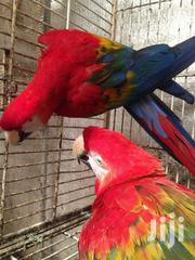 Red Wing Macaw Parrots For Sale | Birds for sale in Central Region, Kampala