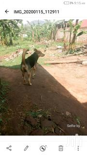 Adult Male Mixed Breed Jack Russell Terrier   Dogs & Puppies for sale in Central Region, Mukono