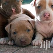 Young Male Purebred American Pit Bull Terrier | Dogs & Puppies for sale in Central Region, Kampala