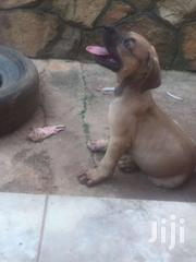 Boerboel Male Puppy | Dogs & Puppies for sale in Central Region, Kampala