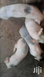 Piglets For Sale | Other Animals for sale in Western Region, Kisoro