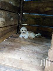 Young Female Purebred Maltese   Dogs & Puppies for sale in Central Region, Kampala