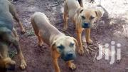 Dog Guard | Dogs & Puppies for sale in Central Region, Wakiso