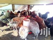 Delicious Live Chicken | Livestock & Poultry for sale in Central Region, Kampala