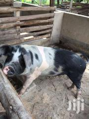 Pigs And Pigglets For Sale. | Other Animals for sale in Central Region, Kampala