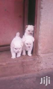Maltese Puppies | Dogs & Puppies for sale in Central Region, Wakiso