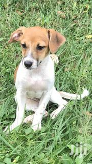 Baby Female Purebred Jack Russell Terrier | Dogs & Puppies for sale in Central Region, Kampala