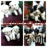 Maltese Pups For Indoor Petting | Dogs & Puppies for sale in Western Region, Kisoro