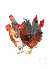 Sasso Pullets | Livestock & Poultry for sale in Western Region, Mbarara