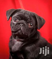 Baby Male Purebred Pug | Dogs & Puppies for sale in Central Region, Kampala