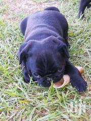 Young Female Purebred Pug | Dogs & Puppies for sale in Central Region, Kampala