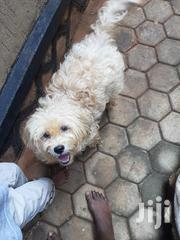 Adult Male Purebred Maltese   Dogs & Puppies for sale in Central Region, Kampala