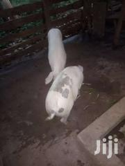 Pigs And Piglets | Other Animals for sale in Central Region, Wakiso