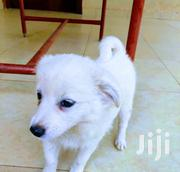 Baby Male Purebred Japanese Spitz | Dogs & Puppies for sale in Central Region, Kampala