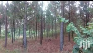 210acres Of Pine Trees + Land At Mafuga Forest Reserve In Kanungu