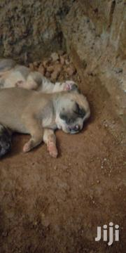 Baby Male Mixed Breed American Pit Bull Terrier   Dogs & Puppies for sale in Central Region, Kampala