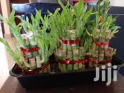 Lucky Bamboo Plants | Garden for sale in Central Region, Kampala