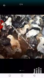 Brooded Chicks | Other Animals for sale in Central Region, Wakiso