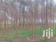 Eucalyptus Trees Of Pole Size | Automotive Services for sale in Central Region, Kampala