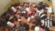 Kuroiler Day Old Chicks | Livestock & Poultry for sale in Nothern Region, Lira