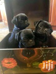 Baby Female Purebred Pug | Dogs & Puppies for sale in Central Region, Kampala