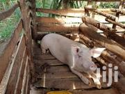 Cambrough Healthy Pigs For Sale | Other Animals for sale in Central Region, Kampala