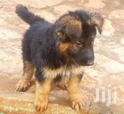 Young Male Purebred German Shepherd Dog   Dogs & Puppies for sale in Central Region, Kampala