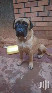 Mastiff   Dogs & Puppies for sale in Central Region, Kampala