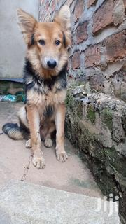 Senior Male Purebred German Shepherd Dog   Dogs & Puppies for sale in Central Region, Kampala